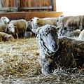 Resting Sheep by William Kauffman