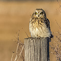 Resting Short Eared Owl by Yeates Photography