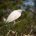 Resting Snowy Egret by Chad Davis