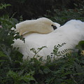 Resting Swan by LKB Art and Photography