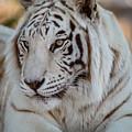 Resting Tiger by Teresa Wilson