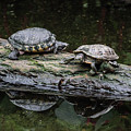 Resting Turtles On A  Log by Michael Bessler
