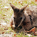 Resting Wallaby by Lori Tambakis