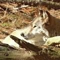 Resting Wolf by Karol Livote