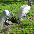 Resting Wood Stork And White Egret by D Hackett