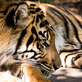 Resting Yet Watchful Tiger by Brent Martin - My Photography Adventure