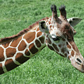 Reticulated Giraffe #3 by Judy Whitton