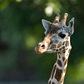 Reticulated Giraffe At The Omaha Zoo by Joel Sartore