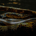 Reticulated Python by Ajit Vikram