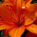 Retreating Orange Lilies by Erin Rednour