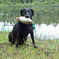 Retrieve Training At Island Lake by Pamela Patch