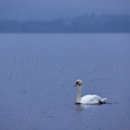 Rhapsody In Blue. Mute Swan by Jouko Lehto