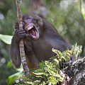 Rhesus Laughing by Mike Fitzgerald
