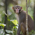 Rhesus On The Watch by Mike Fitzgerald