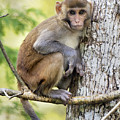 Rhesus Youngster by Mike Fitzgerald