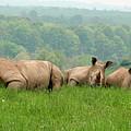 Rhino Heard Panarama by George Jones