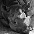 Rhino Nap by Alycia Christine