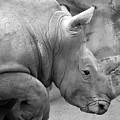 Rhino Profile by Gordon Dean II