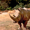 Rhino by Steve Karol