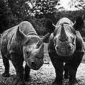 Rhinoceroses by Granger
