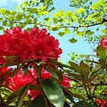 Rhodies Art Prints Red Rhododendron Floral Garden Landscape Baslee by Baslee Troutman