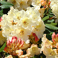 Rhodies Creamy Yellow Orange 3 Rhododendrums Gardens Art Baslee Troutman by Baslee Troutman