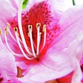 Rhodies Flower Macro Pink Rhododendron Baslee Troutman by Baslee Troutman