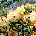 Rhodies Flowers Art Yellow Orange Rhododendrons Garden by Baslee Troutman