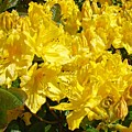 Rhodies Yellow Rhododendrons Art Prints Baslee Troutman by Baslee Troutman