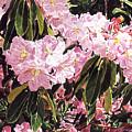 Rhodo Grove by David Lloyd Glover