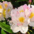 Rhododendron by Catherine Reusch Daley