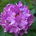 Rhododendron Elegance by Douglas Barnett