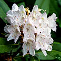Rhododendron Family Of Flowers by John Haldane