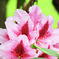 Rhododendron Floral Art Prints Rhodies Flowers Canvas Baslee Troutman by Baslee Troutman