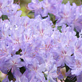 Rhododendron Floral Flowers Lavender Purple Prints Baslee by Baslee Troutman