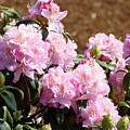 Rhododendron Flower Garden Art Prints Canvas Pink Rhodies Baslee Troutman by Baslee Troutman