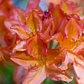 Rhododendron Flowers by Frank Tschakert