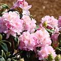 Rhododendron Garden Art Print Pink Rhodies Flowers Baslee Troutman by Baslee Troutman