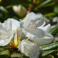 Rhododendron I by Maria Urso