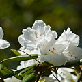 Rhododendron II by Maria Urso