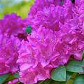 Rhododendron In Pink by Eva-Maria Di Bella