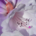 Rhododendron In White And Magenta by Lena Photo Art