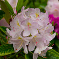 Rhododendron by Karl Asher
