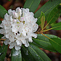 Rhododendron  by FineArtRoyal Joshua Mimbs