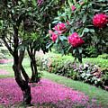Rhododendrons Blooming Villa Carlotta Italy by Tanya Searcy