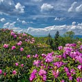 Rhododendrons by Dana Foreman