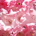 Rhododendrons Flowers Art Print Pink Rhodies Baslee Troutman by Baslee Troutman
