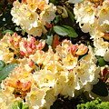 Rhododendrons Garden Art Prints Creamy Yellow Orange Rhodies Baslee by Baslee Troutman