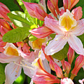 Rhododendrons Garden Floral Art Print Pink Rhodies by Baslee Troutman