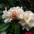 Rhododendrons IIi by Aliza Souleyeva-Alexander